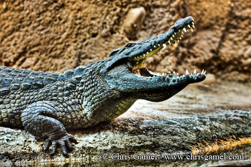 Nile Crocodile in HDR (High Dynamic Range)